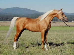 Palomino Arabian Stallion Golden Vagdhan Chesnut + single cream gene = Palomino