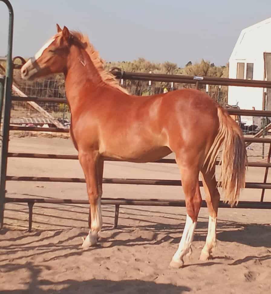Kali horse